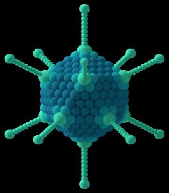 Capsid - Icosahedral capsid of an adenovirus