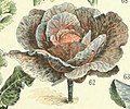 Adolphe Millot chou rouge.jpg