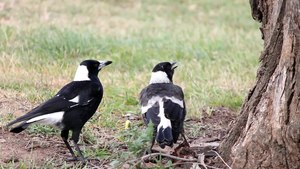 File:Adult male Australian Magpie feeding fledgling.ogv