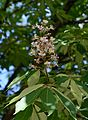 Aesculus May 2014-2a.jpg