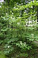 Aesculus parviflora kz08.jpg