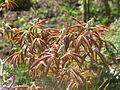 Aesculus pavia rosea nana (17253209155).jpg