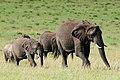 African Elephant (3075434809).jpg