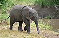 African Elephant (Loxodonta africana) calf (17331176001).jpg