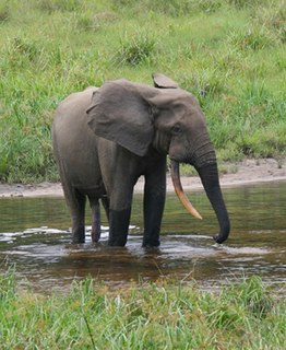 African forest elephant The third largest living land animal in the world