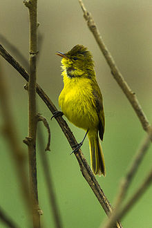African Yellow Warbler - South Africa S4E7584 (17123176947).jpg