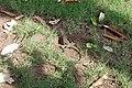 Agama femelle ponte d'œufs 06.jpg