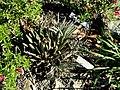 Agave polianthiflora - J. C. Raulston Arboretum - DSC06282.JPG