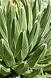 Agave victoriae-reginae Closeup 2000px.jpg