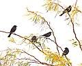 Agelaius phoeniceus Mecca CA 03.jpg