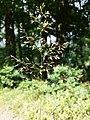 Agrostis capillaris sl3.jpg