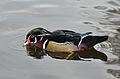 Aix sponsa (Wood Duck - Brautente) - Weltvogelpark Walsrode 2012-06.jpg