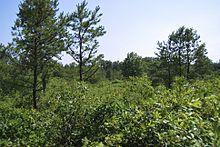 Alcuni pini sono circondati da una serie di bassi cespugli di querce e alberi durante i mesi estivi.