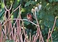 Allen's Hummingbird on Sticks of Fire (26484857925).jpg