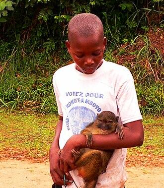 Allen's swamp monkey - Although still hunted for its meat, Allen's swamp monkey is increasingly seen as a household pet. (Photo taken in Basankusu, 2007)