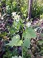 Alliaria petiolata sl13.jpg