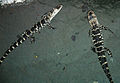 Alligator mississippiensis (American alligator) 3 (15541704839).jpg
