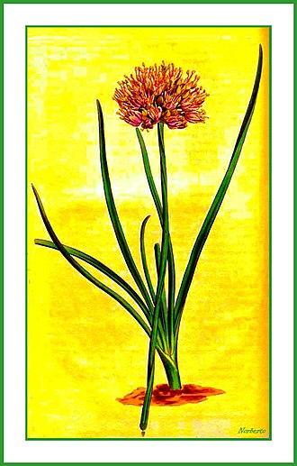 Allium angulosum - Allium angulosum