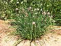 Allium schoenoprasum 010.JPG