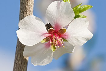 The white flowers of an almond tree, after whi...