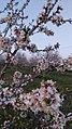 Almond trees 11.jpg