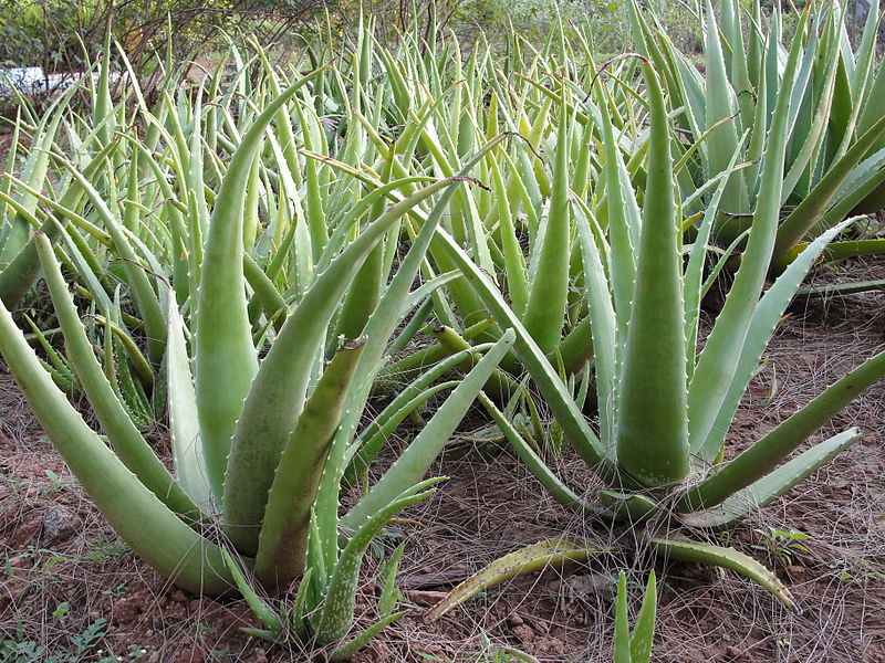 Aloe vera. Credit: Wikimedia Commons
