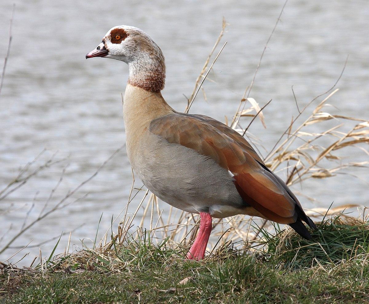 Egyptian Goose Wikipedia