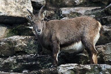 Alpensteinbock (Capra ibex) Zoo Salzburg 2014 e.jpg