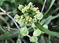 Alyssum strigosum flowers.jpg