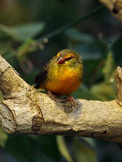 Orange-breasted waxbill species of bird