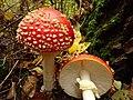 Amanita muscaria (49147920947).jpg
