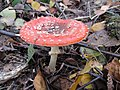 Amanita muscaria at Hambach Forest.jpg