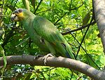 A green parrot with yellow cheeks and a black face