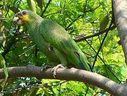 Amazona amazonica (1).jpg