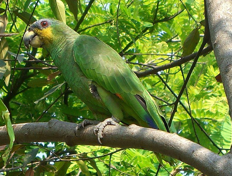 Ficheiro:Amazona amazonica (1).jpg