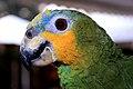 Amazona amazonica -head-6.jpg
