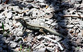 Ameiva fuscata at Batalie Bay 01.jpg