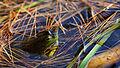 American Bullfrog (Rana catesbeiana) - Algonquin Provincial Park, Ontario 03.jpg