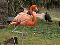 American Flamingo 03.jpg