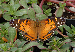 American Lady Vanessa virginiensis Upper Wings 1609px.jpg