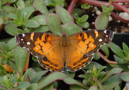 American Lady Vanessa virginiensis Upper Wings 1609px