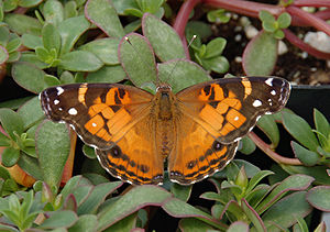 Painted lady - Image: American Lady Vanessa virginiensis Upper Wings 1609px