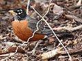American Robin 0025.jpg