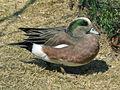 American WIgeon (Anas americana) RWD2.jpg