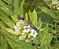Ammophila species (39838820511).jpg