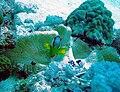 Amphiprion chrysogaster 06.jpg