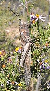 <i>Anacridium moestum</i> Species of grasshopper