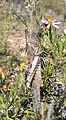 Anacridium moestum, volwassene op Felicia filifolia, Spitskop, a.jpg