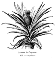 Ananas de Cayenne Vilmorin-Andrieux 1904.png