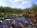 Anas platyrhynchos-mallard-Dragoman marsh.jpg
